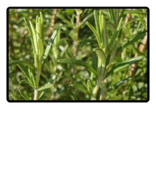 Rosmarin Symbol des Lebens Weihnachtsduft Rosemary Rosmarinus Herbs