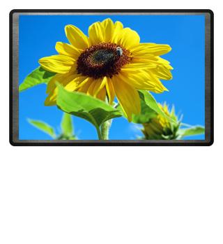 Sonnenblume Sunflower